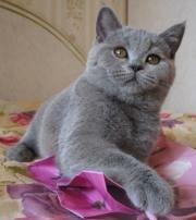 Британский кот в доме