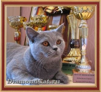 British blue cat Lucia Silvery Snow