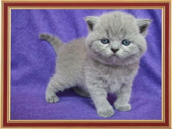 Cattery of British short-haired cats WOOL SPIRIT