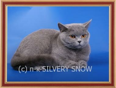 Mother British blue cat Ch. Olimpiada Silvery Snow BRIa