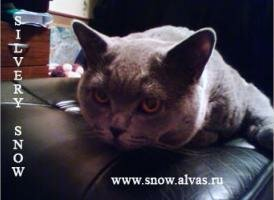Maternal grandfather British blue cat X-Ray Silvery Snow BRIa