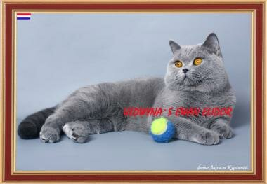 Father British blue cat Ch. Uldwyna`s Ewan Elidor BRIa (Netherlands)