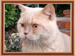 His father - a British cat cream colored Jewel