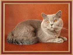 British blue cat Ch. Yannik Silvery Snow